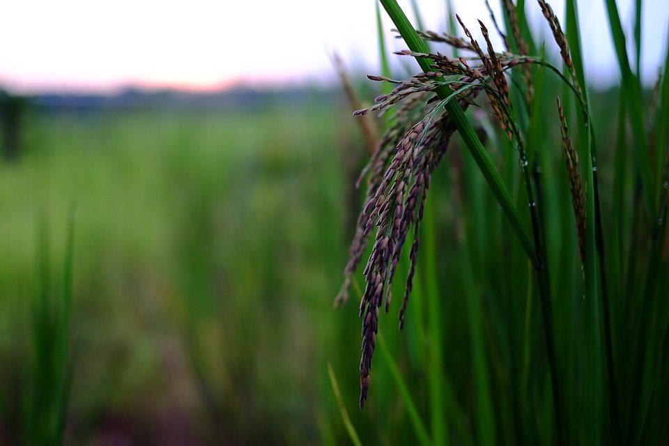 Die Reispflanze – Ursprung des Hauptnahrungsmittels für 107 Mio. Filipin@s © https://www.maxpixel.net/Organic-Rice-Food-2411088