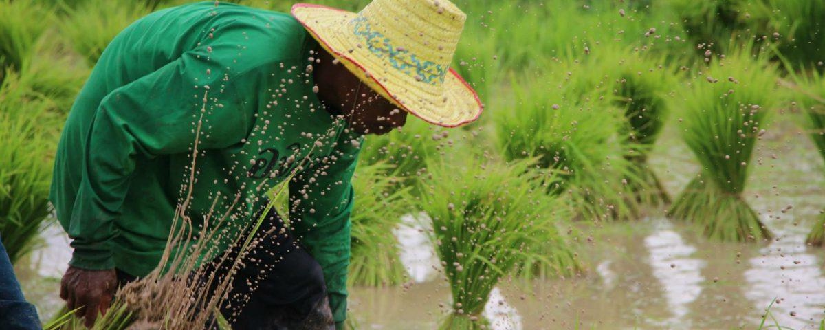 Reisbauern bei der Entwurzelung von Jungpflanzen © AMRU Rice