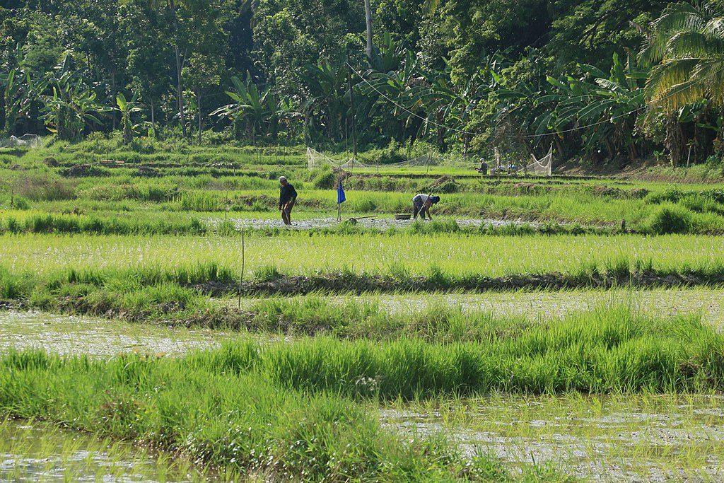 Reisfeld in Bohol, Philippinen © Wikimedia
