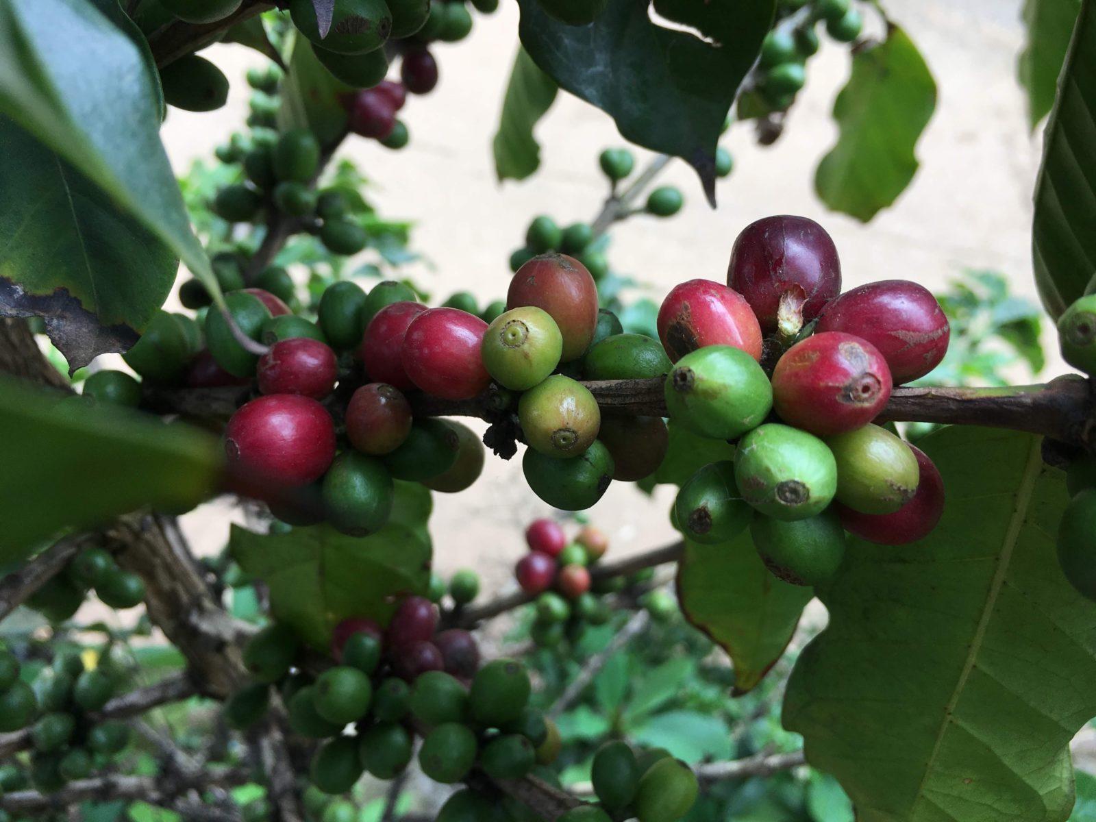Aus diesen roten Bohnen wird später Kaffee © Eva Kunkel