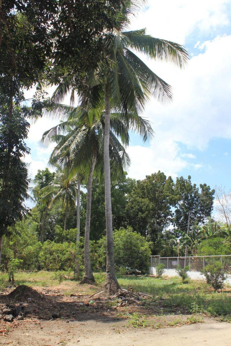 Grünabfälle in Macalamcam werden direkt an die Palmen zur Düngung gelegt © Mirjam Overhoff