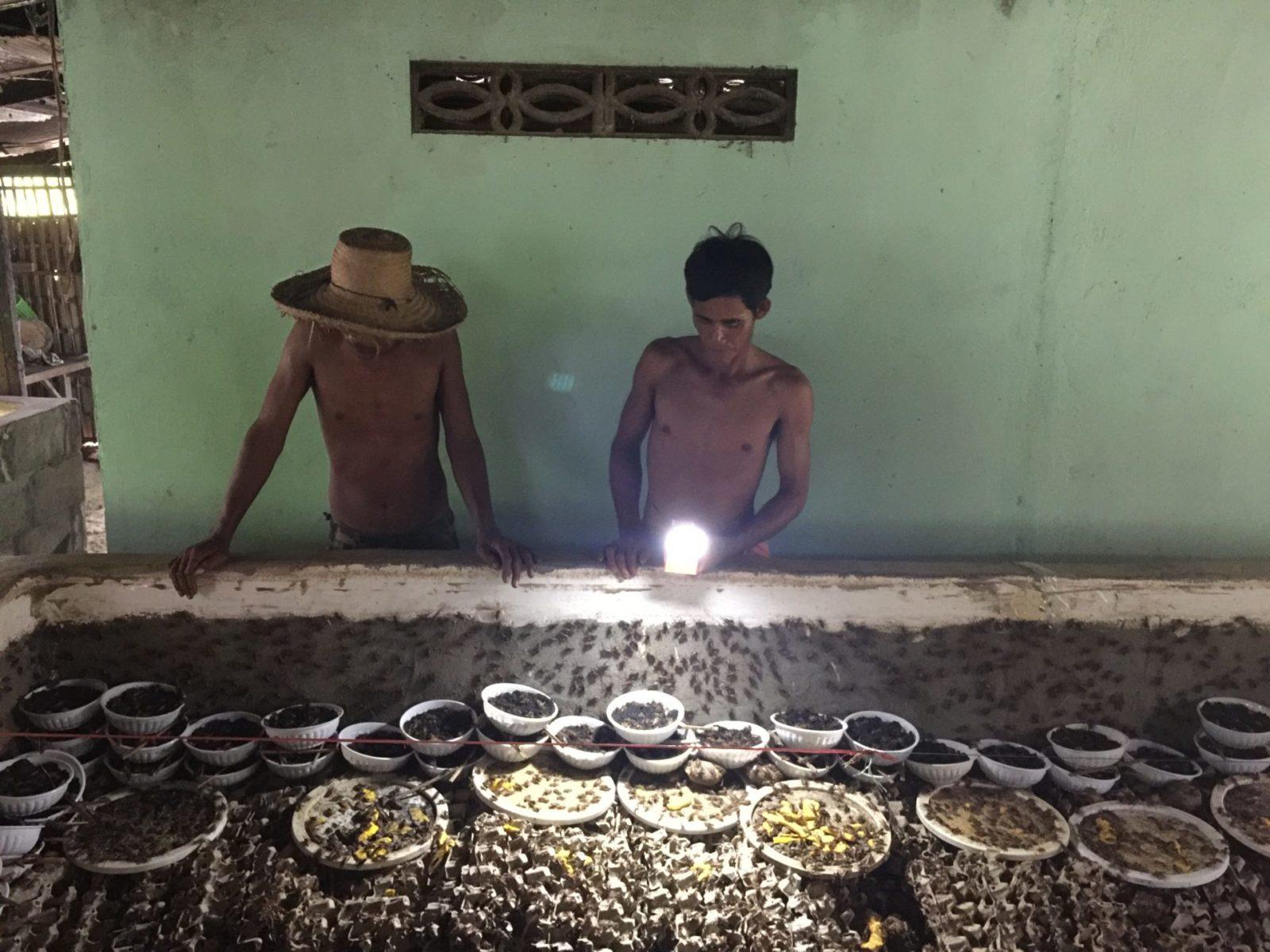 Kambodscha Grillenzucht Ernährungssicherheit