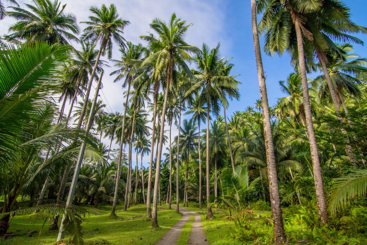 Die Kokospalme – eine aussterbende Art?