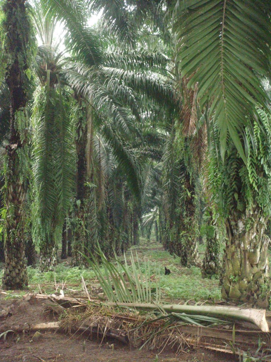 Indonesien Palmöl