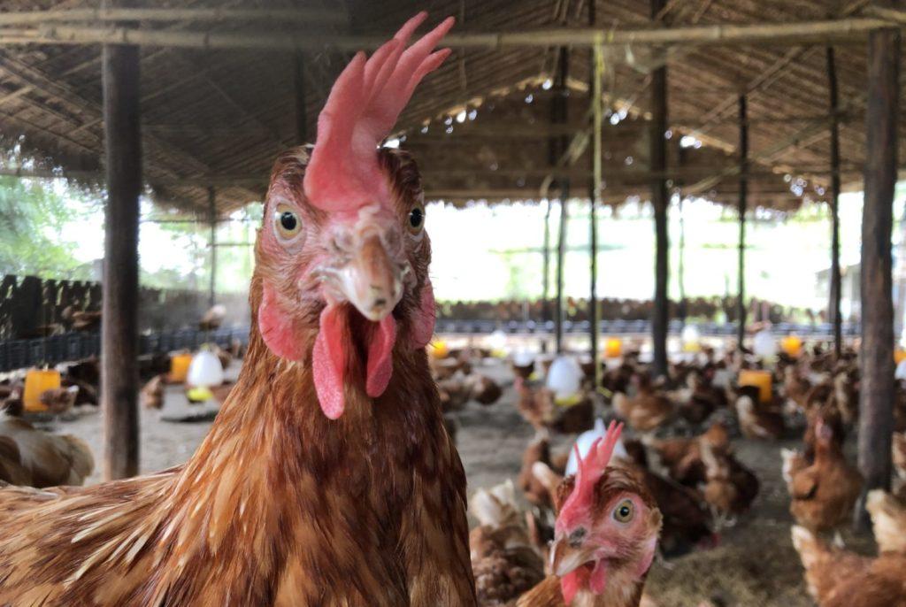 Myanmar Hühner Antibiotika